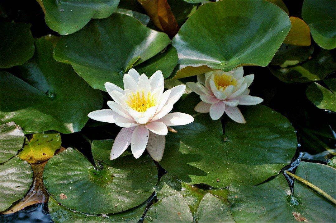 white lotus7326714778823379410..jpg